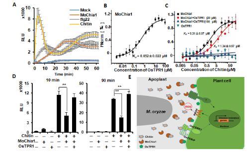 水稻识别稻瘟菌分泌蛋白的分子机制