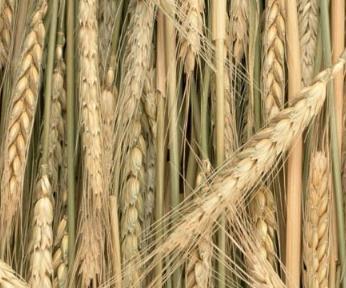 多糖:大麦中发现一种新型复合碳水化合物