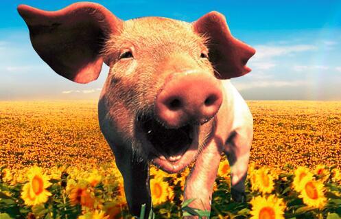 唐人神防控非洲猪瘟得力  募资5.7亿扩大生猪产能