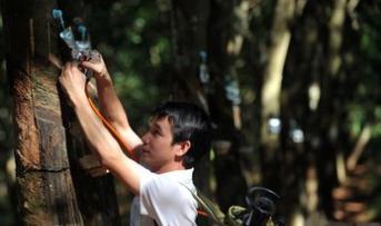 泰国计划未来5年削减三分之一橡胶产量以提高价格