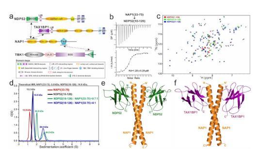 揭示自噬受体蛋白NDP52招募TBK1激酶的分子机制