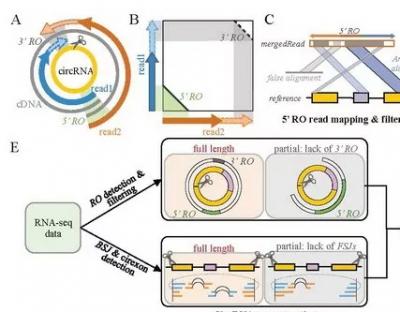 中科院赵方庆团队提出环形RNA全长转录本重建和定量新方法