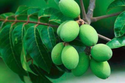 科学家们发明更环保的方法来去除新鲜橄榄苦涩味