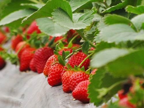 《2019中国草莓消费市场趋势报告》发布 安全和颜值受关注