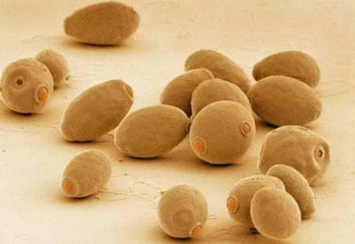 首次实现!基斯林院士团队利用微生物发酵大规模制备大麻素