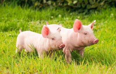 猪养殖周期拐点将至 天邦股份以研发战略促发展