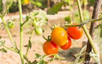 农科院揭示黄瓜果实发育的乙烯调控机制