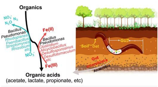 阐明蚯蚓肠道微生物的Fe(III)还原作用