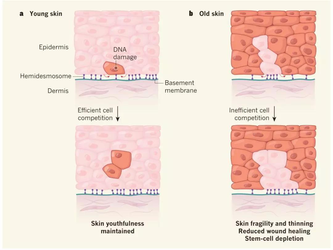刘楠博士揭示皮肤衰老由胶原蛋白COL17A1驱动的机制