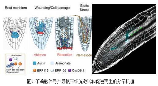 茉莉酸信号介导根干细胞激活和促进再生的分子机理