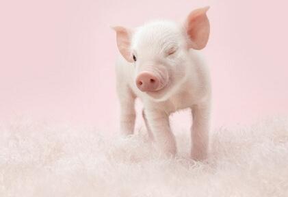 印遇龙团队破译猪的营养密码:放心吃猪肉
