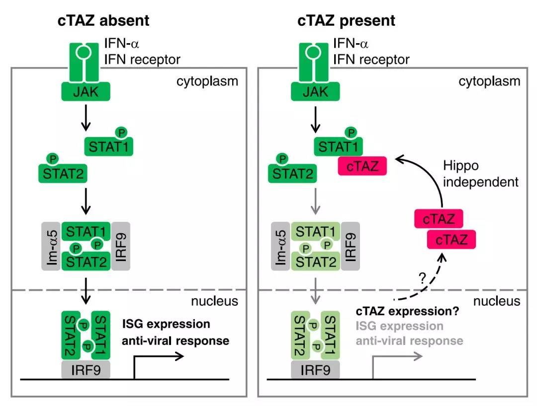 复旦余发星组揭示了cTAZ在细胞抗病毒免疫中的全新功能及分子机制