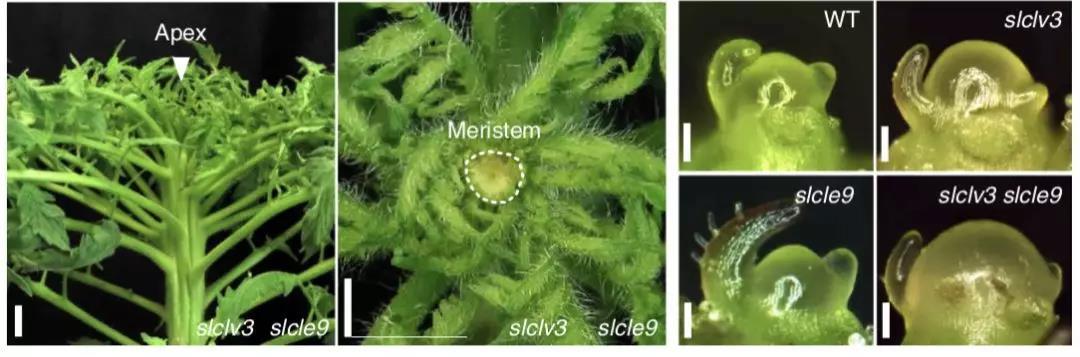 中美学者揭示植物同样具有遗传补偿效应,并维持干细胞稳态