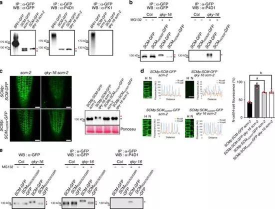 韩国延世大学研究团队发现植物根表皮细胞发育新机制