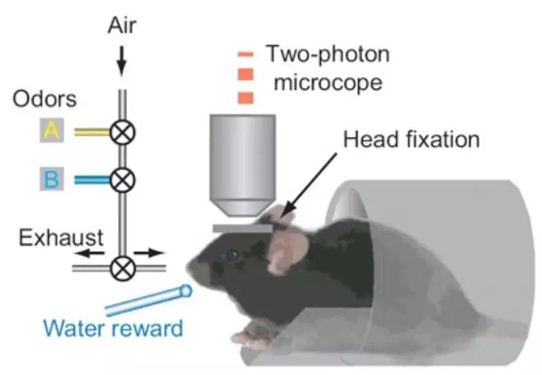 杜克大学发明神经元自动标识方法 AI破解神经科学研究关键瓶颈