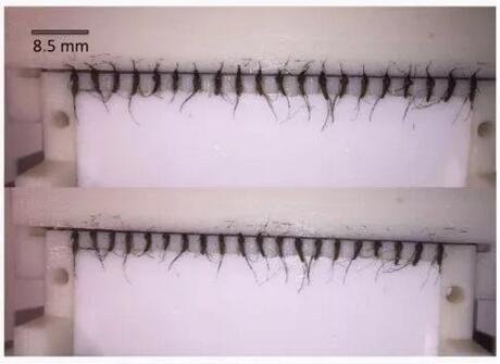 恶性疟原虫孢子体疟疾疫苗(PfSPZ)研发须每小时解剖300只蚊子,设计斩蚊台批量斩头
