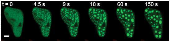 默沙东、诺华等大药企正密切关注无膜细胞器领域,初创公司也开始布局