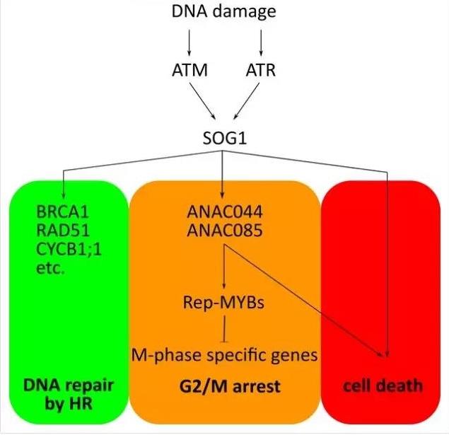 植物中无p53同源蛋白,如何响应DNA损伤并进行DNA修复?