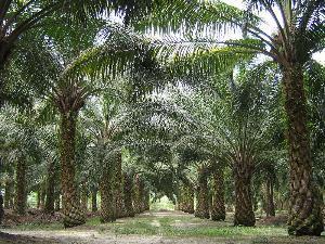 热科院橡胶所选育中国首个产业化油棕品种获成功