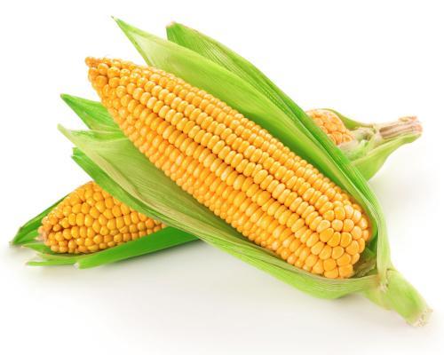 中美科学家合作发现玉米高光效调控新机制
