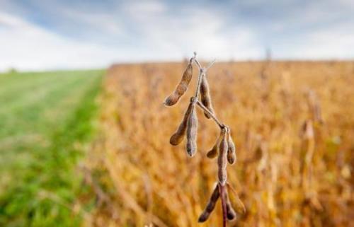 每亩大豆补贴340元!农民纷纷响应大豆振兴计划