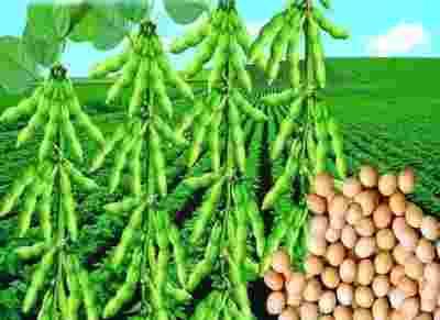 加拿大科学家研究表明大豆蛋白可以降低胆固醇