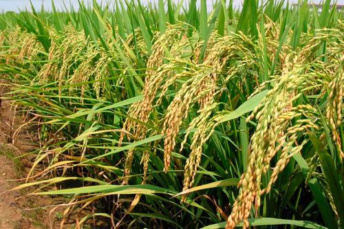 扬州大学克隆出控制稻米品质的重要基因:蜡质基因