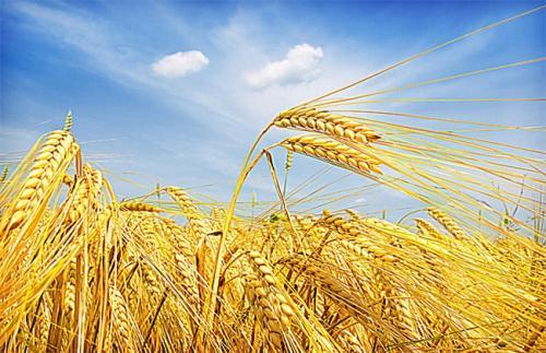 吉林大学破译世界首例古小麦全基因组 提供小麦传播的分子依据