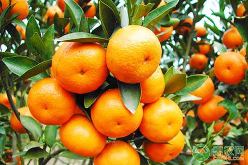 智利柑橘出口量4年增幅超200% 还将继续增长