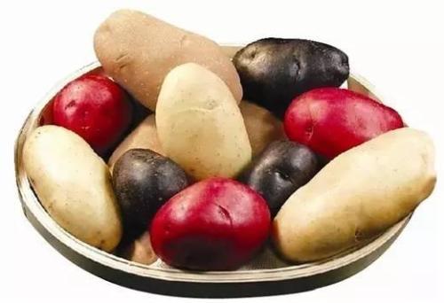 西农大3个玫瑰系列彩色马铃薯新品种首获国家农业部认证