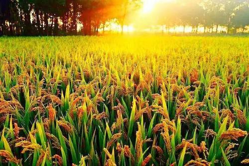首次!美国稻米将卖到中国 美国稻米协会将来华开展两场研讨会