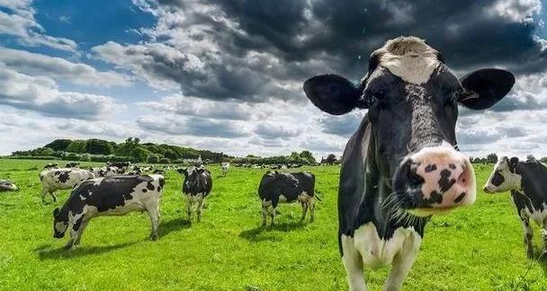 肠道菌群不仅决定牛奶的风味,甚至还导致全球变暖