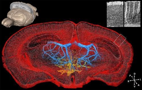 华中科技大学得到了最完整的大脑(mPFC)远程投射的全脑图谱