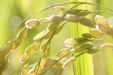 农科院克隆出水稻小穗发育新基因OsPEX5 揭示小穗发育调控分子机制