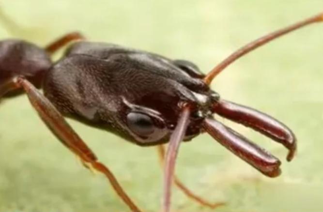 瑞土开发仿生蚂蚁机器人:分工协力搬重物