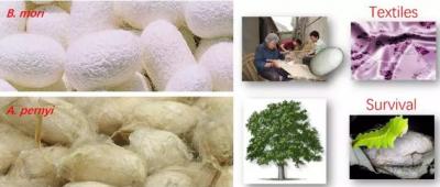 抗冲击材料的新'丝'路 北航研发野生柞蚕丝/碳纤维混杂复合材料
