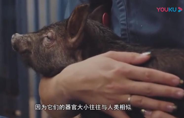 英专家称3年内猪心脏经基因编辑可移植到人体