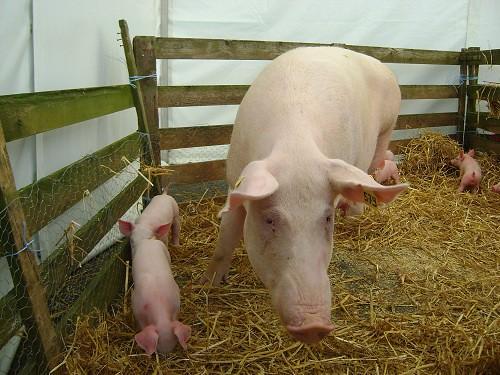 首例!经基因工程改造的活细胞猪皮成功被用于治疗人类烧伤伤口