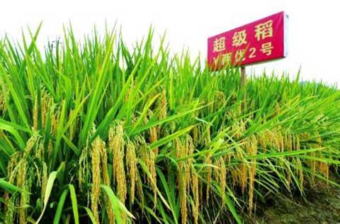 灌阳,发展超级稻品种的风水宝地!