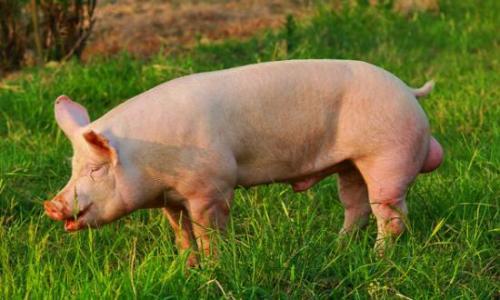 10月21日全国猪价大涨,牧原股份称已能有效防控非洲猪瘟