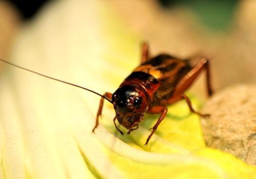 新技术!韩国科学家提取浓缩食用昆虫中的蛋白质作为食品原料