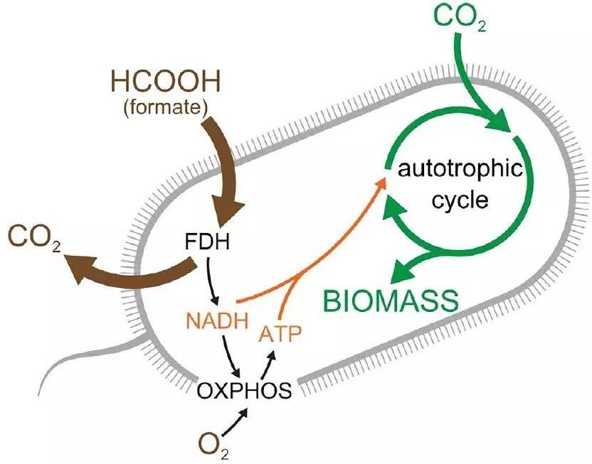 突破!科学家首次将绝对异养型生物改造成完全自养型生物 专吃CO2