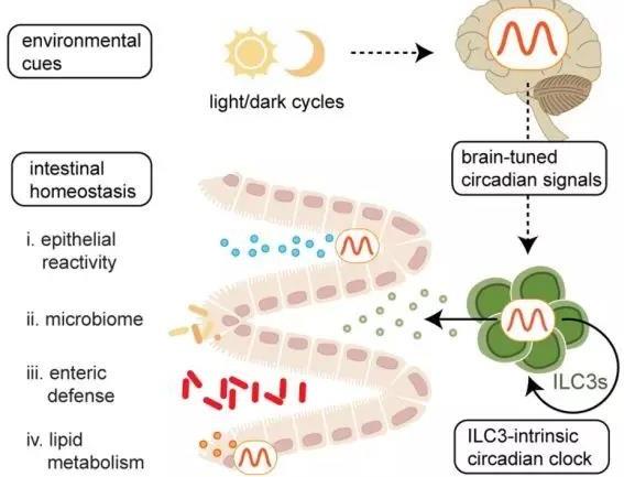 葡萄牙学者发现ILC3s有一个细胞内的生物钟 有昼夜节律调控等功能