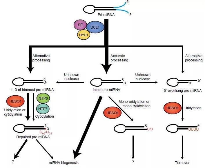 加利福尼亚大学发现了miRNA前体的新修饰 在植物中有多种功能