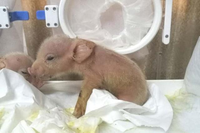 首次创造猪猴嵌合体!在猪胚胎中添加灵长类动物细胞即可