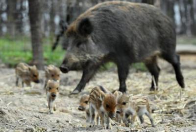 神农架发生野猪非洲猪瘟疫情:湖北企业复工遥遥无期
