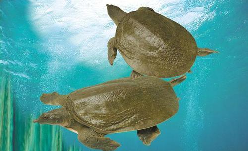 中华鳖乌龟等不入禁食名单,不是人工养殖的也能吃吗?
