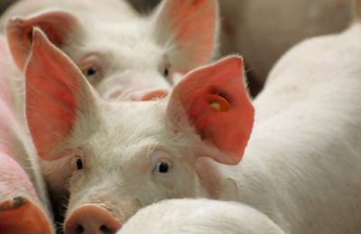 牧原股份逾37亿元加码生猪产业链,业绩支撑大手笔布局猪周期