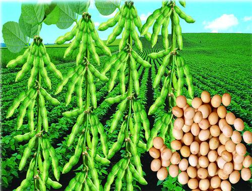 大豆均价4300元/吨,收购价格2.20元/斤: 是什么原因让价格疯涨?