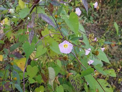 华农揭示首个植物种子调控油脂降解的转录因子